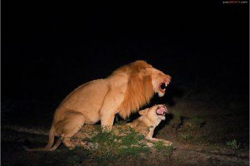 Львы ночью в парке Южная Луангва. Замбия