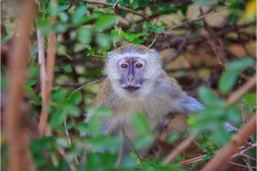 Верветовая обезьяна в нац. парке Южная Луангва