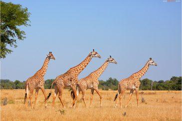 Жираф Торникрофта в нац. парке Южная Луангва. Замбия