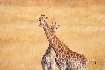 Жирафы в заповеднике Мукувиси на окраине Хараре. Зимбабве