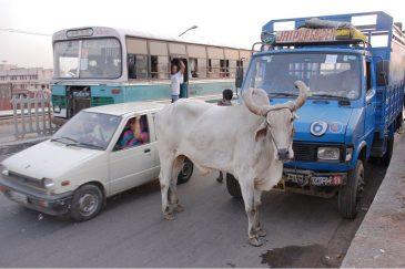 Коровы на дорогах в Дели. Индия