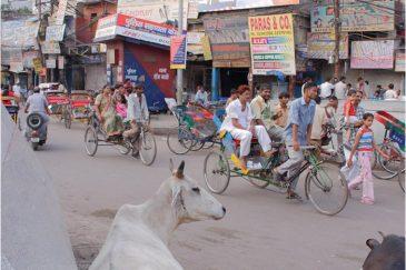 Священные коровы на улицах Дели. Индия