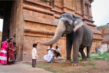 Благословение храмового слона в Танжавуре. Тамилнаду. Индия