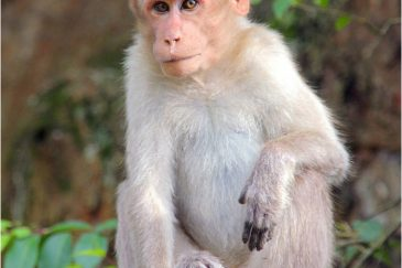 В горах Нилгири обитает вид макак с площадкой на голове. Индия