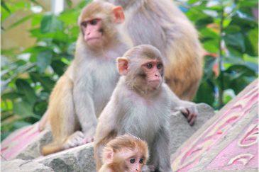 Семья макак в городке Ревалсар. Штат Химачал-Прадеш. Индия
