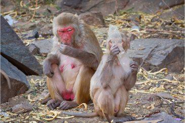 Мартышка и стекло в Джайпуре