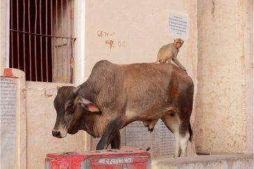 Наездник в Джайпуре, штат Раджастан. Индия