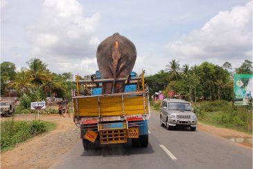 Перевозка слона в штате Тамилнаду. Индия