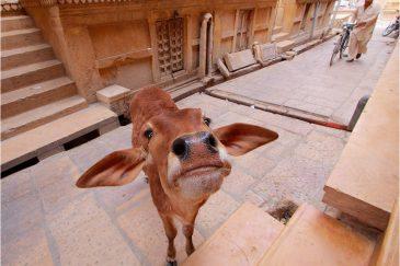 Корова на улицах Джайсалмера, штат Раджастан. Индия