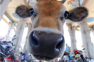 Священная корова в Тируваннамалаи, Тамилнаду. Индия