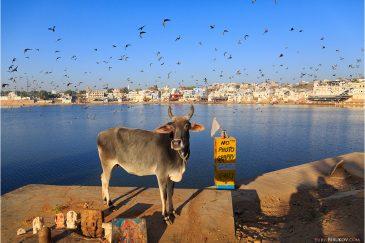 Озеро города Пушкар, святая корова и странная надпись. Раджастан. Индия