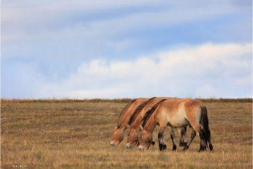 Лошади Пржевальского в национальном парке Хустайн. Монголия
