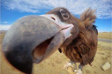 Любопытный монгольский гриф. Монголия