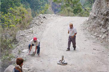Встреча с королевской коброй на дороге в предгорьях Гималаев