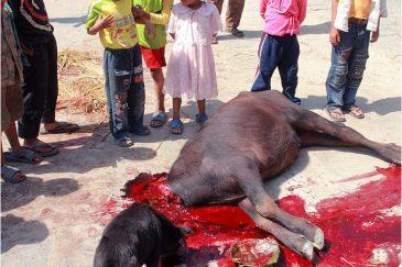 Жертвоприношение буйвола на празднике Дассаин. Деревня Бунгамати