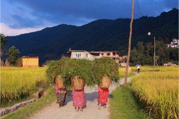 Травособиратели в долине Катманду