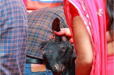 В святилище Дакшинкали в долине Катманду круглый год приносят животных в жертву