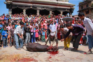 Жертвоприношение животных в честь праздника Дассаин на площади деревни Бунгамати