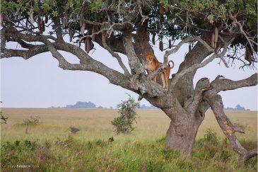 Львица высматривает добычу в саванне Серенгети