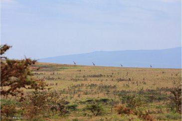 Жирафы-палочки в заповеднике Нгоронгоро