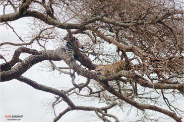 Леопард и его жертва в нац. парке Серенгети