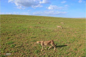 Гепарды вышли на охоту в нац. парке Серенгети