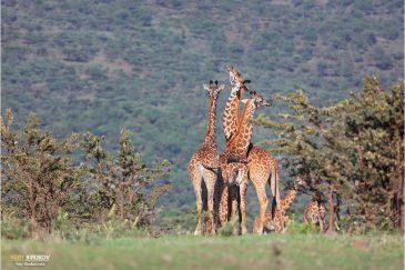 Игры жирафов в заповеднике Нгоронгоро