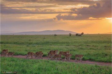 Львиный прайд на прогулке в нац. парке Серенгети