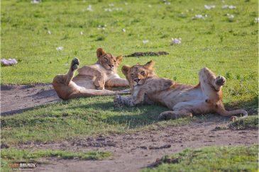 Парочка молодых львов в кратере Нгоронгоро