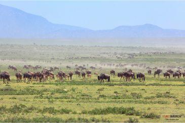 Великая миграция антилоп гну на равнинах Серенгети