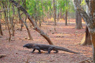 Огромный ящер острова Комодо
