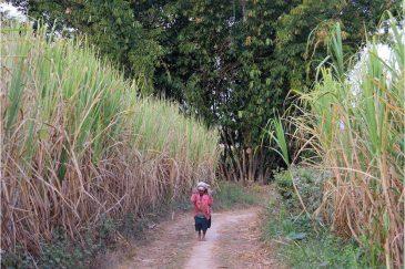 Акха трудятся на плантациях сахарного тростника