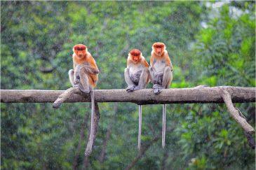 Носатые обезьяны острова Борнео и тропический дождь