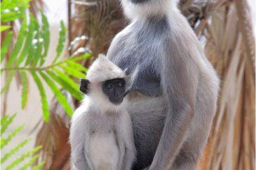 Мама с ребенком. Лангуры Шри-Ланки