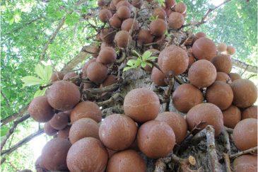 Пушечное дерево в ботаническом саду Канди