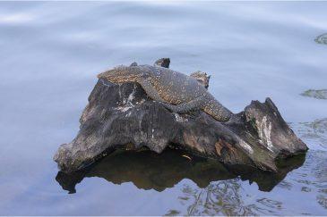 Варан замаскировался на коряге посреди пруда в городе Канди